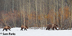 Grizzly bear sow and yearling cubs. Grand Teton National Park, Wyoming.
