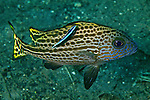 Digramma pictum, Silver sweetlips, sub-adult, Indonesia