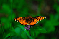 Butterfly with an emerald back ground.