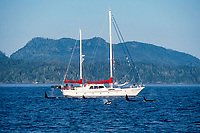 orcas, Orcinus orca, and whale-watching sailboat, Telegraph Cove, Vancouver Island, British Columbia, Canada, Pacific Ocean
