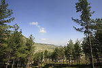 Isarael, Upper Galilee, Pine trees by Biria forest Scenic Route