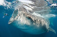 Whale Shark, Rhincodon typus, Isla Mujeres, Caribbean Sea.