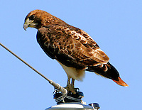 Adult red-tailed hawk on power insulator