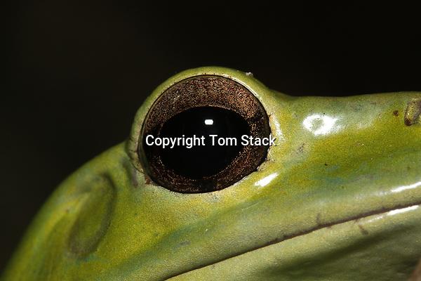 Chinese Gliding Frog, Rhacophorus dennysi, face