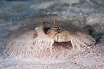 Bothus maculiferus, Mottled flounder, Roatan