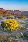 Anza Borrego Desert State Park, California:<br /> Dawn light on the desert at Yaqui Meadows, brittlebush (Encelia farinosa)