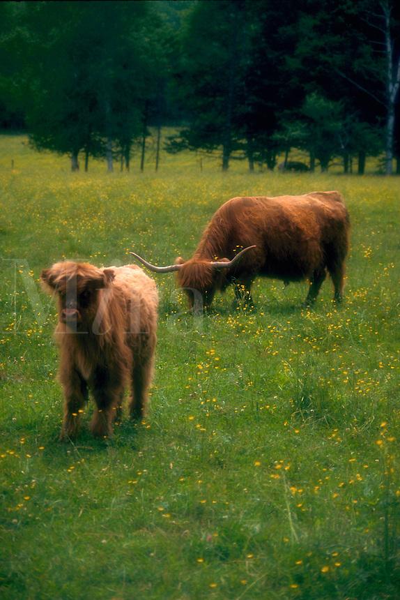 Scottish Highland cattle. Vermont.