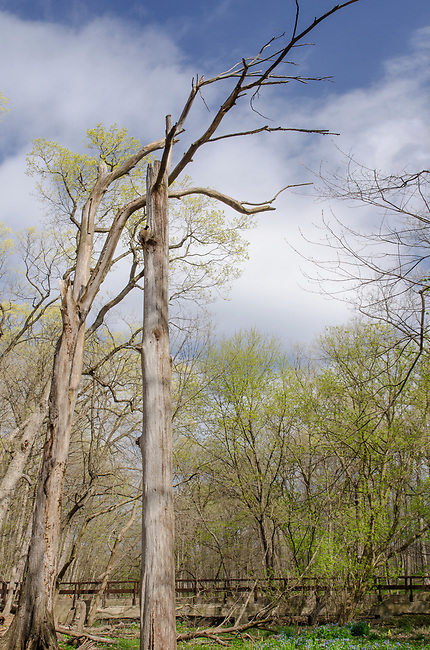 A Dead tree frame spring bud out at Maple Grove Forest Preserve in DuPage County, Illinois