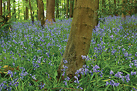 Bluebells and Beech Trees, Killoch Glen, Barrhead, East Renfrewshire<br /> <br /> Copyright www.scottishhorizons.co.uk/Keith Fergus 2011 All Rights Reserved