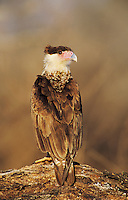 Crested Caracara, Caracara plancus,immature on log, Willacy County, Rio Grande Valley, Texas, USA, May 2004