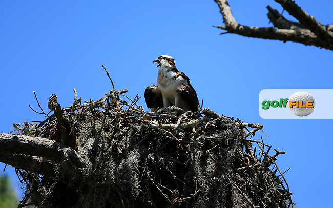 A bird of prey watch the action on the 3rd tee during round 3 of the Players, TPC Sawgrass, Championship Way, Ponte Vedra Beach, FL 32082, USA. 14/05/2016.<br /> Picture: Golffile | Fran Caffrey<br /> <br /> <br /> All photo usage must carry mandatory copyright credit (&copy; Golffile | Fran Caffrey)