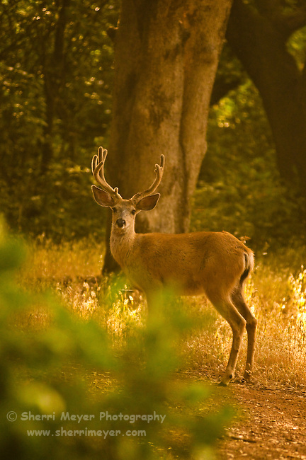 Portrait of a Buck, Auburn, California.