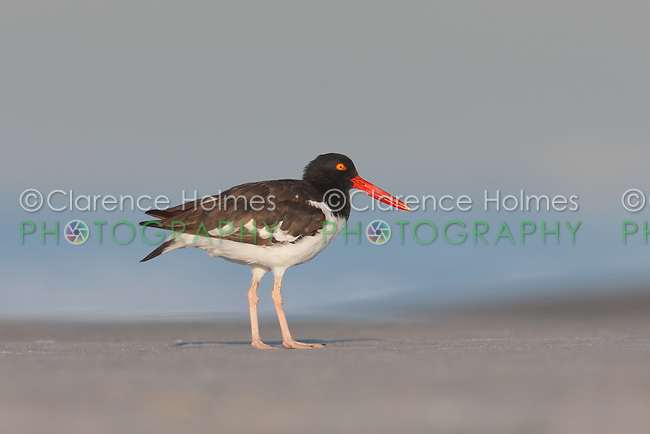 American Oystercatcher (Haematopus palliatus), Nickerson Beach, Lido Beach, NY