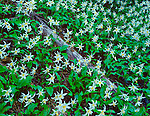 Mt Baker-Snoqualmie N.F., WA  © Mary Liz Austin  /<br /> Meadow detail of avalanche lilies (Erythronium montanum) blooming in the Glacier View Wilderness part of the Nisqually River Drainage