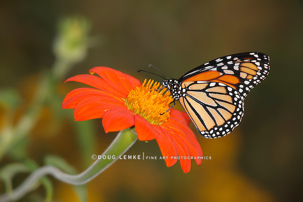 A Monarch Butterfly On An Orange Flower With A squiggly Stem, Danaus plexippus
