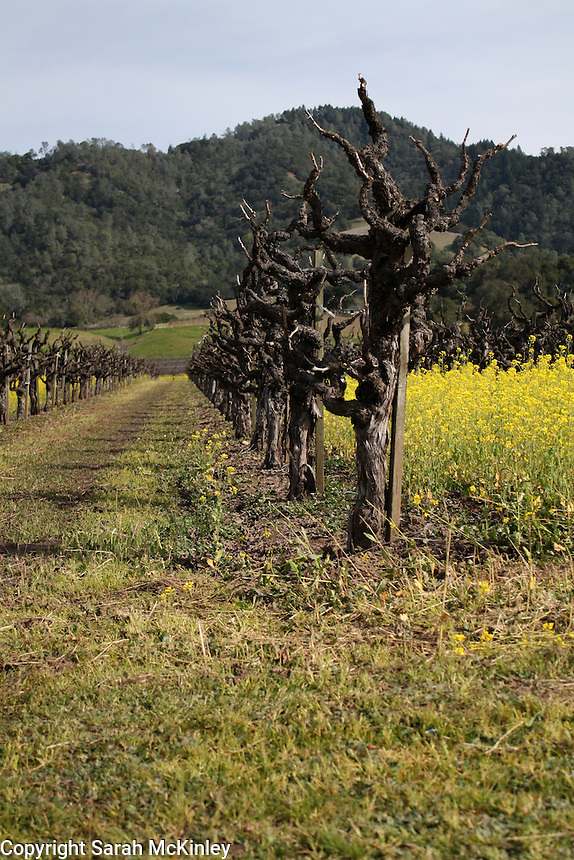 Looking down a row of old, gnarled grape vines, between which mustard grows. Taken between Geyserville and Calistoga in Napa County in Northern California.