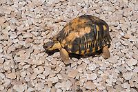 Africa, Madagascar, Ambositra city. Turtle.