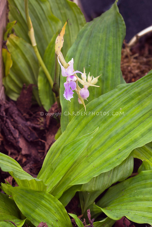 Calanthe reflexa orchid species with leaves, terrestrial orchid