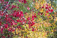 Zitterpappel, Zitter-Pappel, Pappel, Espe, Aspe, Populus tremula, Aspen, European aspen, quaking aspen, Le Peuplier tremble, Tremble, Tremble d'Europe, Blatt, Blätter, leaf, leaves, Herbstlaub, Herbstfärbung, Herbstverfärbung, Herbstfarben, autumn foliage, fall foliage, autumn colors, autumn colours