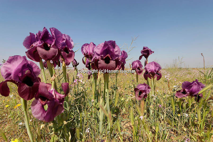 Israel, the Northern Negev. Iris Mariae in Besor region