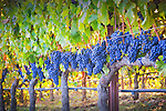 St. Helena vineyard with cabernet grapes
