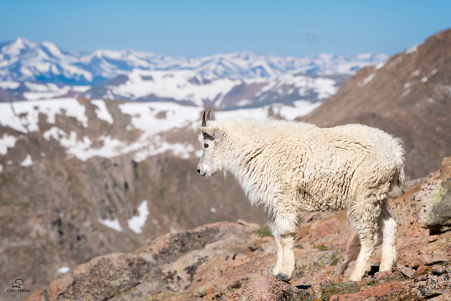 Even this young Mountain Goat (Oreamnos americanus) seems intrigued and impressed by the view from atop a narrow and steep cliff.  The Rocky Mountains lie beyond.  Mount Evans, Colorado