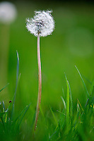 Dandelion clock growing, England