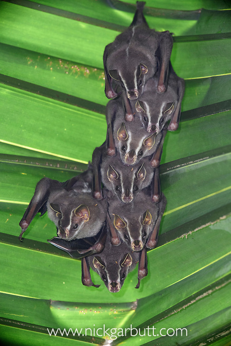 Common Tent-making Bats (Uroderma bilobatum) roosting beneath palm leaf. Lowland rainforest, Pacific Slope. Bosque de Cabo, Osa Peninsula near Corcovado National Park, Costa Rica, Central America.