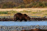 Grizzley Bear Fishing in Katmai, Alaska.