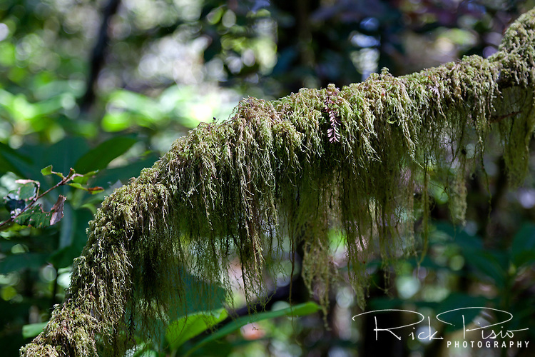 A moss covered branch along the Oregon Redwoods Trail in the Siskiyou National Forest near Brookings, Oregon.
