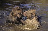 Braunbär, Braun-Bär, Bär, spielt im Wasser, Ursus arctos, brown bear