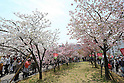 April 19, 2012, Osaka, Japan - Visitors walk amid cherry blossom trees at a popular viewing spot on the premises of the Japan Mint head office in Osaka's Kita Ward, on Thursday, April 19, 2012. (Photo by Akihiro Sugimoto/AFLO) [1080] -ty-