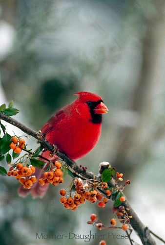 Male northern cardinal, Cardinal cardinalis, perches on branch of bittersweet in the winter snow