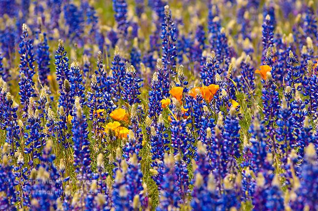 California Poppies & Lupine, Auburn, California.