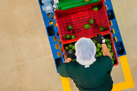 A Colombian worker holds a crate of avocados at a processing plant in Sonsón, Antioquia department, Colombia, 22 October 2019. Over the past decade, the Colombian avocado industry has experienced massive growth, both as a result of general economic development in Colombia, and the increased global demand for so-called superfood products. The geographical and climate conditions in Antioquia (high altitude, no seasonal extremes, high precipitation rate) allow two harvest windows of the Hass avocado variety across the year. Although the majority of the Colombian avocado exports are destined towards Europe now, Colombia aspires to become one of the major avocado suppliers to the U.S. market in the near future.