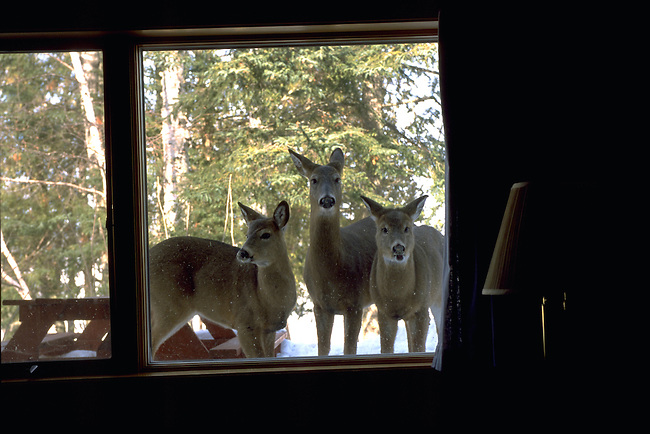 Deer look through the window of a cabin at the Gunflint Lodge in Minnesota.