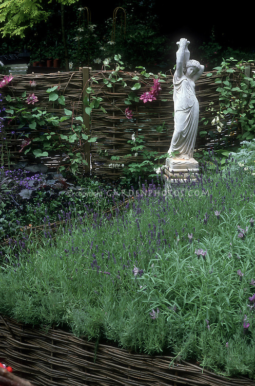 Lavender herbs of different kinds - English Lavandula angustifolia and Spanish Lavandula stoechas - in herb garden in flower with climbing vine Clematis, Grecian woman statue garden ornament, willow woven fence and raised bed