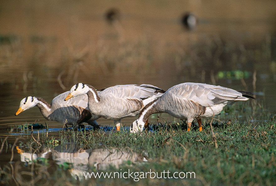 Bar-headed Geese (Anser indicus) feeding at edge of lake. Bharatpur National Park, India.
