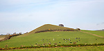 Cattle grazing on hillside of Picked Hill, Wilcot, Wiltshire, England, Uk