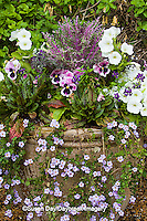 63821-22703 Container with white petunias, purple pansies,  Cantigny Park at Wheaton  IL