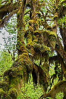 Olympic National Park Hoh Rainforest, WA.  Moss on big-leaf maple tree.  May.