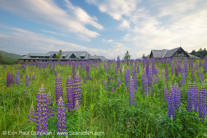 Lupine at the Appalachian Mountain Club's Highland Center located at the start of Crawford Notch State Park in the White Mountains, New Hampshire USA during the summer months. The Highland Center occupies the site of the historic Crawford House.