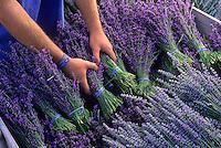 Harvesting Lavender