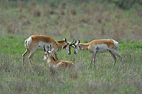 673080116 wild pronghorn antilocarpa americana graze and interact on a grassy hillside near canadian texas united states