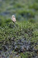Burrowing Owl  (Spedotyto cunicularia)