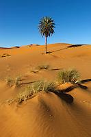 Morocco, Meknes-Tafilalet, Merzouga: Erg Chebbi, large dunes formed by wind-blown sand, with lone palm tree | Marokko, Meknes-Tafilalet, Merzouga: Erg Chebbi, durch Verwehungen entstandene Duenen, und einzelne Palme