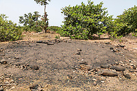 Cashew Trees.  Example of a Less Well-tended Cashew Tree Farm, with less pruning of lower limbs, less clearing of underbrush.  Foreground shows site of a tree recently cut down and converted to charcoal.   Near Sokone, Senegal.