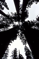 Sequoia trees in black silhouette against the white sky. Photographed virtically up foto, reise, photograph, image, images, photo,<br /> photos, photography, picture, pictures, urlaub, viaje, vacation, imagen, viagi, stock