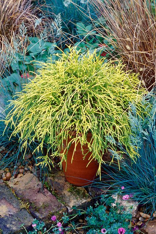 Chamaecyparis pisifera 'Filifera Aurea' aka Golden Mops in pot, Golden Threadleaf Falsecypress