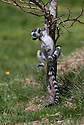 16/05/16<br /> <br /> &quot;Look mum - one hand!&quot;<br /> <br /> Three baby ring-tail lemurs began climbing lessons for the first time today. The four-week-old babies, born days apart from one another, were reluctant to leave their mothers&rsquo; backs to start with but after encouragement from their doting parents they were soon scaling rocks and trees in their enclosure. One of the youngsters even swung from a branch one-handed, at Peak Wildlife Park in the Staffordshire Peak District. The lesson was brief and the adorable babies soon returned to their mums for snacks and cuddles in the sunshine.<br /> All Rights Reserved F Stop Press Ltd +44 (0)1335 418365